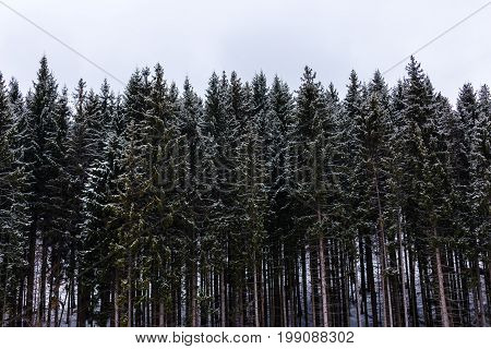 Tall green pines In the snow in the mountains frontal view winter landscape.