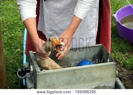 Stratford-upon-avon, Uk - July 23 2017: A Woman Tries To Free A Goose Trapped In A Water Trough At M