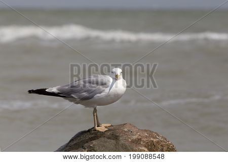 White seagull on the rocky sea beach