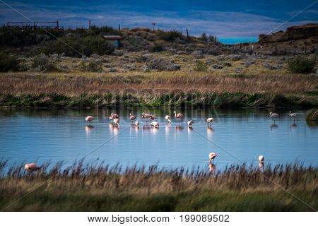 Pink flamingos stand in the water in the countryside. A view of a flock of pink flamingos.