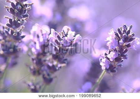 beautiful close up shot of lavender flowers at the field background texture