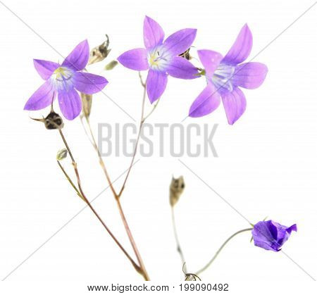 Spreading bellflower (Campanula patula) isolated on white background. Meadow flower