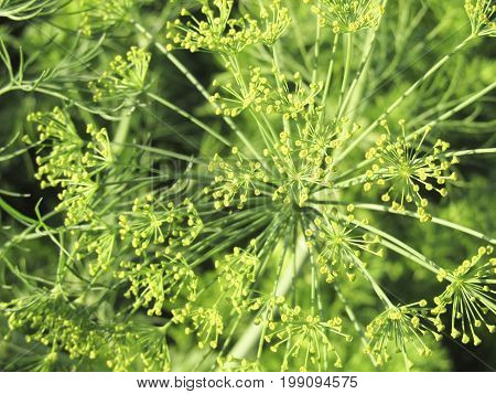 Fennel branch with seeds in sunlight. A branch of a spicy plant on a green indistinct background