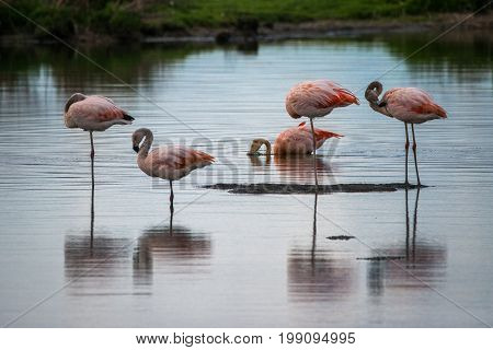 Several pink flamingos stand in the water.