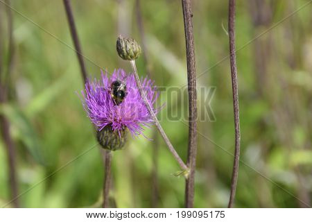 Creeping Thistle (Cirsium arvense) with a bumblebee on the flowerhead Picture from the North of Sweden.