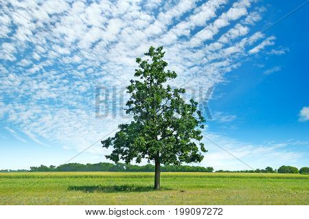 Oak tree on a green meadow and sky with light clouds.