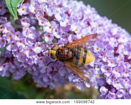 Largest hoverfly in UK Hornet Mimic Hoverfly on Buddleia.