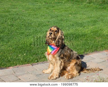 English Show Cocker Spaniel dog wearing Pride rainbow bandana scarf.