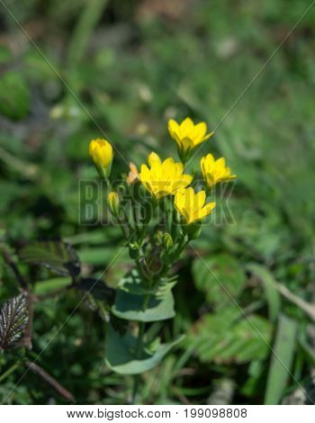 Yellow-wort wild flower on shore at Tide Mills Newhaven.