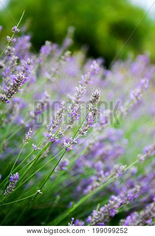 Lavender flowers in the summer, lavender bush