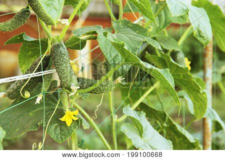 the Bush cucumbers on the trellis. Cucumbers vertical planting. Growing organic food. Cucumbers harvest