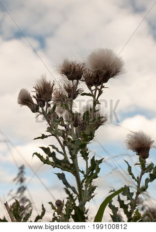 Milk Thistle White Fluffy As Seen From Below With Sky Background