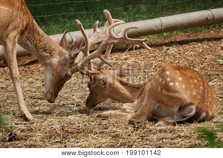Two cute deer collide in the farm