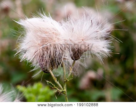 Two Fluffy White Buds Of Wild Milk Thistle Outside In Field