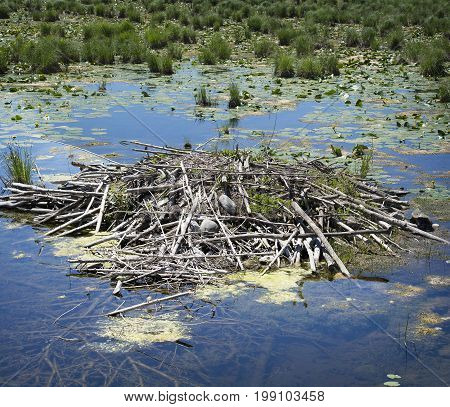 A beaver's neat and tidy home on a quiet pond.