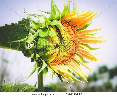 The sunflower (Helianthus annuus) is an annual plant with a large flower head