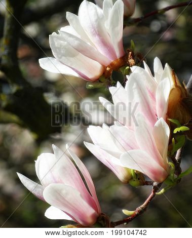 A branch full of gorgeous saucer magnolia flowers.