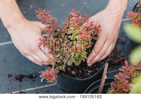 Cropped Shot Of Gardener Hands Planting Plant In Flowerpot