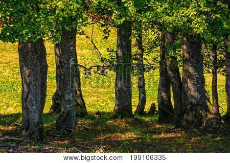 beech forest on a grassy meadow background