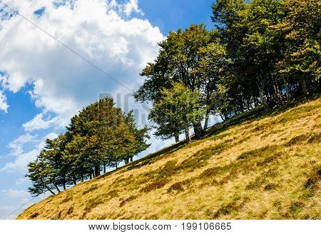 Ancient Beech Forest On A Grassy Lope
