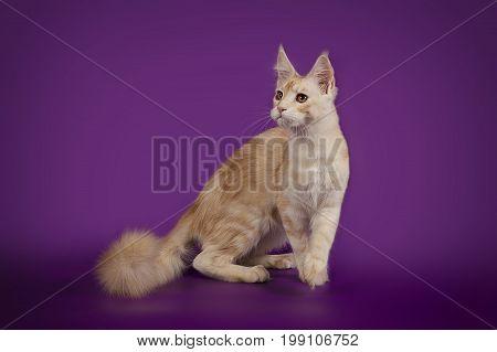 Peach cat Maine Coon on a purple studio background. Beautiful graceful cat