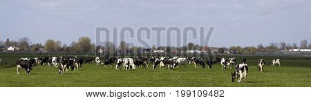Panorama photo of black and white dutch holstein cows on a green field