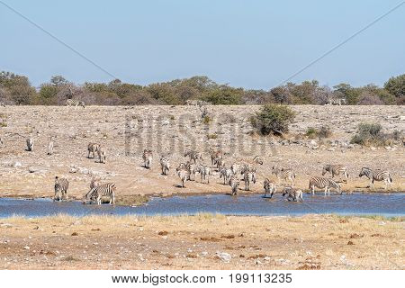 A herd of Burchells zebras Equus quagga burchellii at a waterhole in Northern Namibia