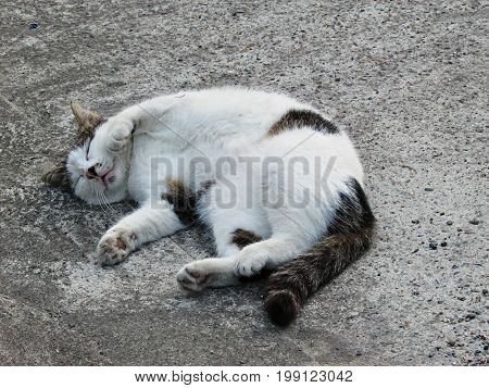 Satisfied contented happy cat of white coloring asleep on asphalt road
