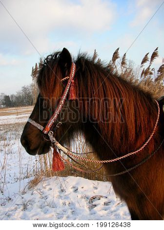 Icelandic horse, Iceland pony in winter with show- horse- bridle. decorative harness for  horses