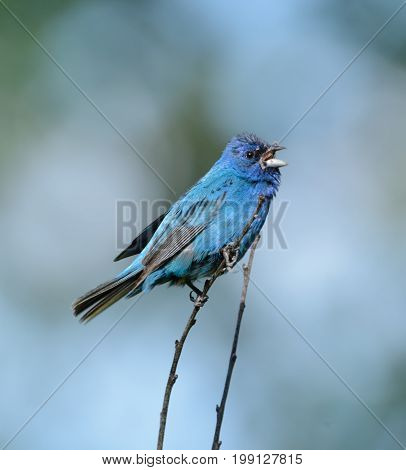 A Male Indigo Bunting (Passerina cyanea) a songbird, perched on a bare branch, beak open while singing, in Andover, Sussex County, New Jersey, USA.
