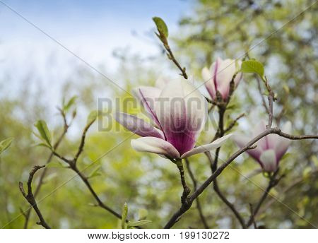 Bright fragrant flower of a magnolia tree against a background of green leaves