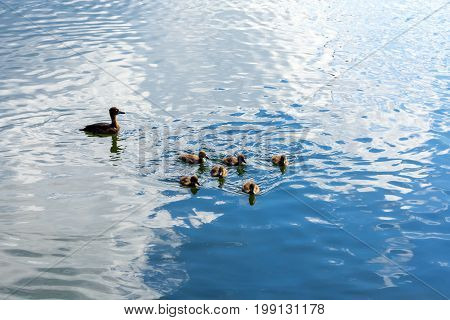 A wild duck with a brood of ducklings swimming along the lake