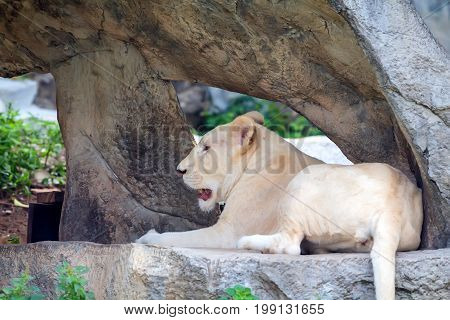 Close up tired albino lioness aking rest on a stone in zoo