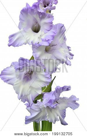 Elegant and gentle white gladiolus flower with lilac edges close up isolated on a white background poster