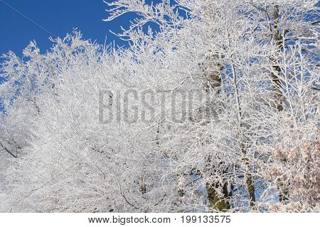 Fabulous winter trees with frost in the morning