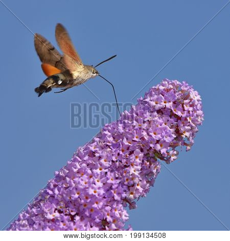Buddleja davidii - butterfly bush with Hummingbird hawk-moth in background against blue sky