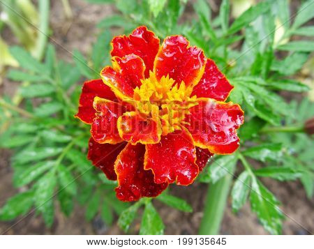 Orange and brown barkhatets in a garden. A beautiful flower with water drops on petals. Indistinct background