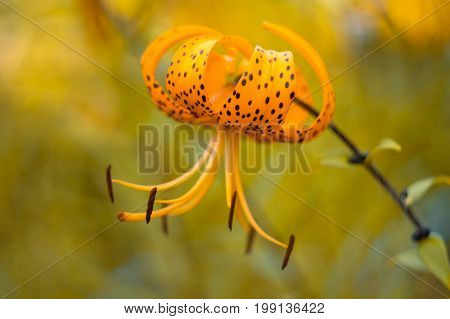 A single tiger Lily on a colorful background in the garden. Selective soft focus.