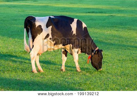 Cow Grazing Farm Cattle