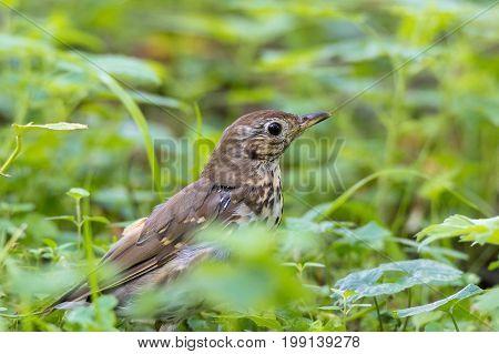 Thrush grasslander on grass beautiful bird summer