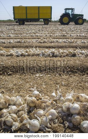 Field of unearthed onions lines and trailer at bottom. Badajoz Spain
