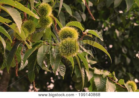A group of chestnuts cupules in the branches of a chestnut tree