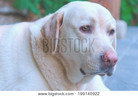 Labrador Retriever Dog Detailed Portrait
