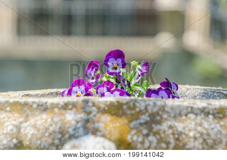 Violet Flower On The Plantpot