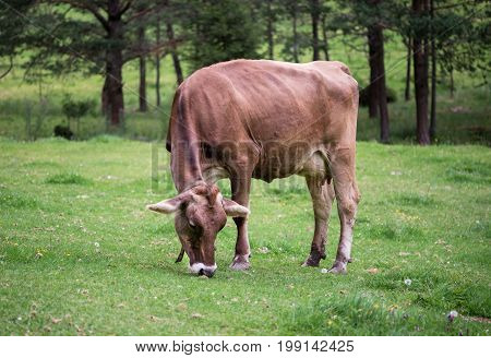 A cow on an alpine meadow is eating grass.  Tyrol. Austria.