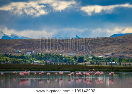 Beautiful pink flamingos on a background of mountains. A flock of pink flamingos in the lake. Birds are reflected on the surface of the water. Pink flamingos stand in the water in the countryside.