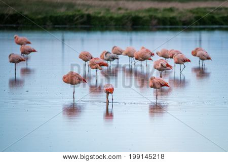 Pink flamingos hid their heads under the wing. Pink flamingos stand in the water in the countryside. The background is blurred. Birds are reflected on the surface of the water.