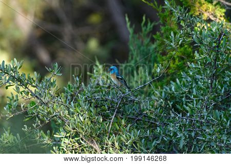 Lazuli Bunting in a Tree in Theodore Roosevelt National Park in North Dakota