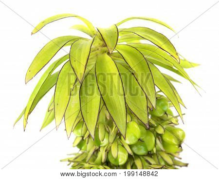 Flower of variegated pineapple lily (Eucomis bicolor) with seeds isolated on white background poster