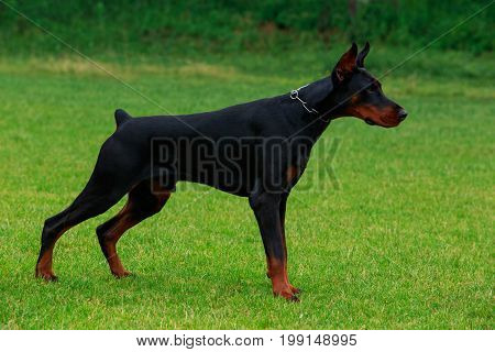 The dog breed Doberman Pinscher stands on a green grass